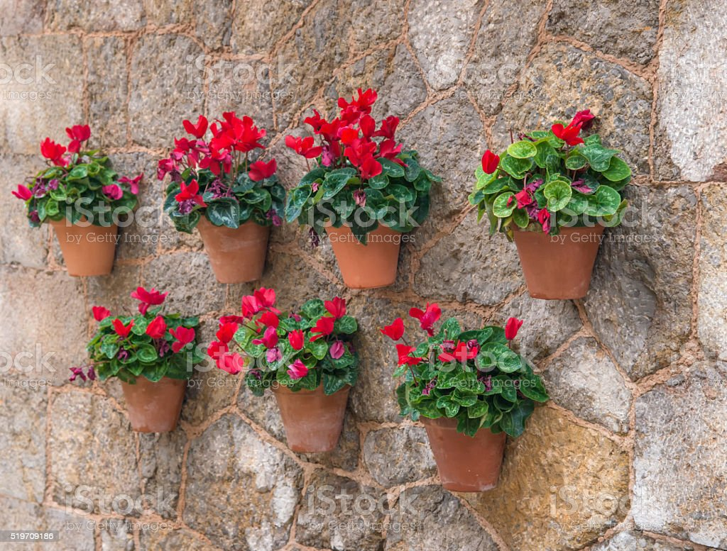 flower pots with cyclamen hanging on a wall stock photo