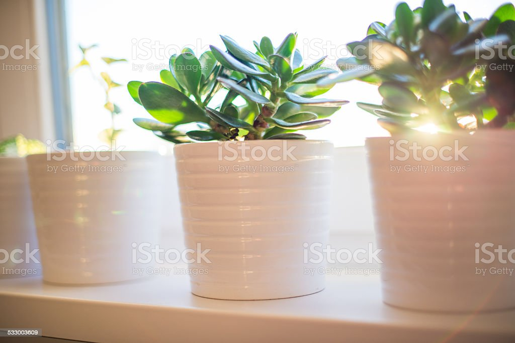 Flower pots with the plants on window stock photo