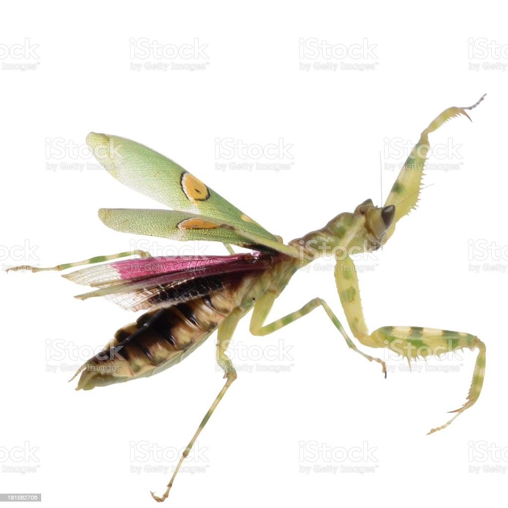 flower praying mantis royalty-free stock photo