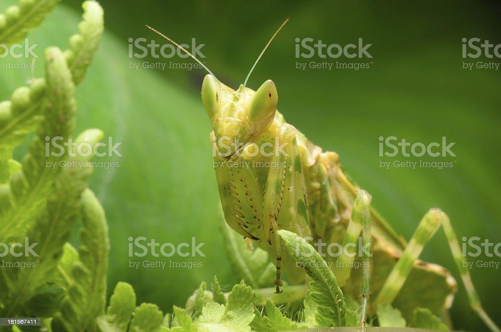 flower praying mantis royalty-free stock photo