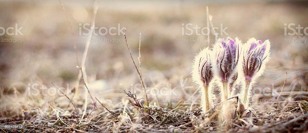 flower pulsatilla patens  blooms stock photo