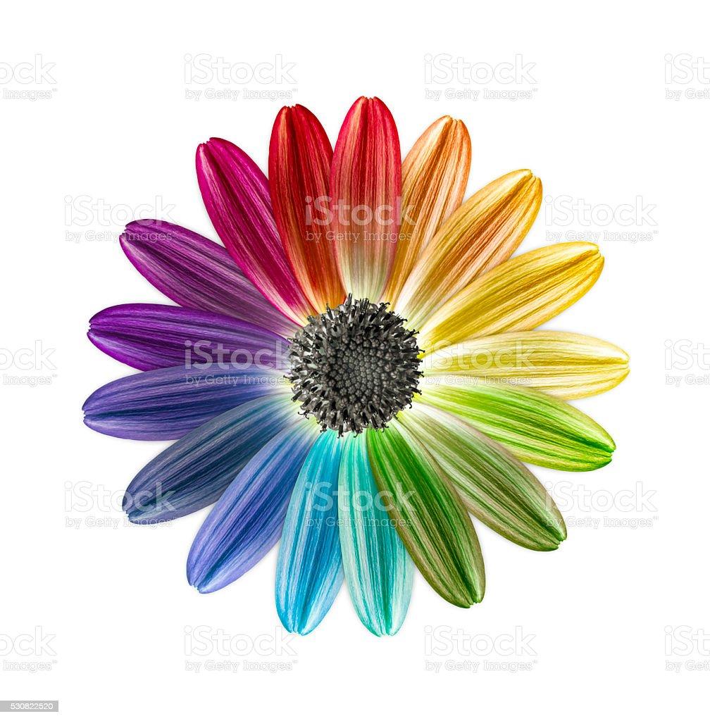 flower rainbow colours stock photo