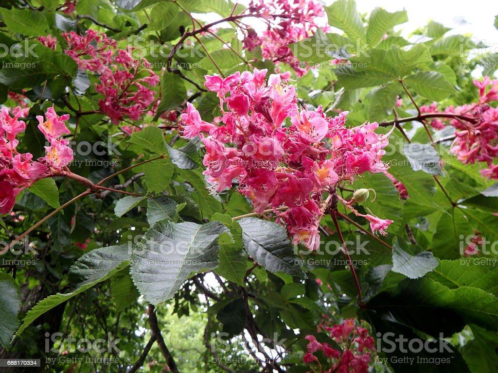 flower -  red horse chestnut, stock photo