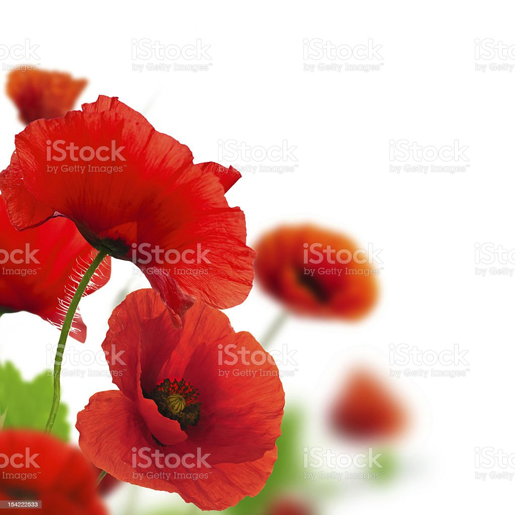 flower - red poppies over white stock photo