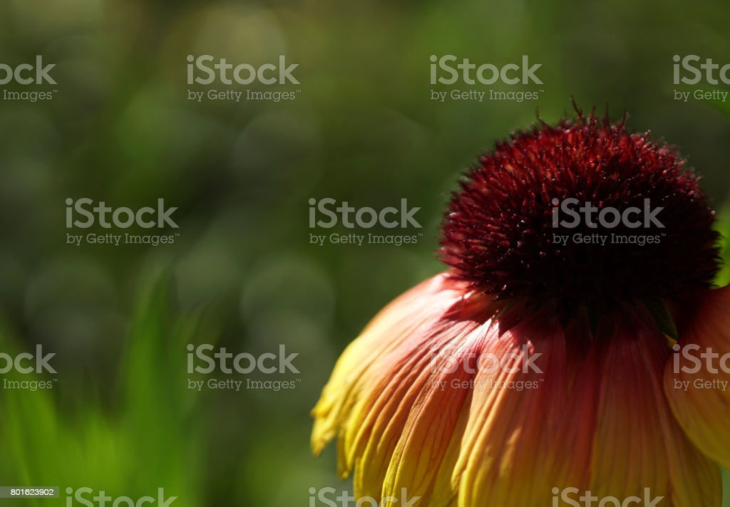 A flower red-yellow at dawn. Blossoms on a green blurred background bokeh. Close-up. Floral background. Soft focus. Nature. stock photo
