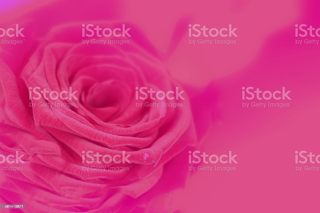Flower rose royalty-free stock photo