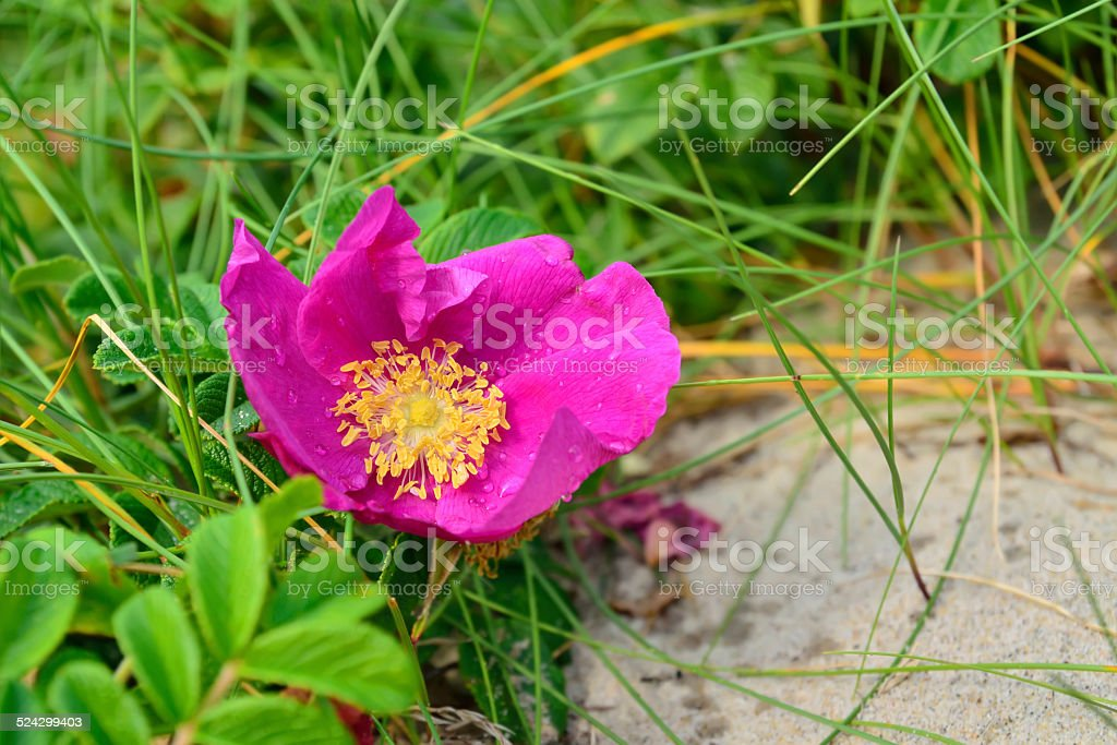 Flower rose with dew drops stock photo