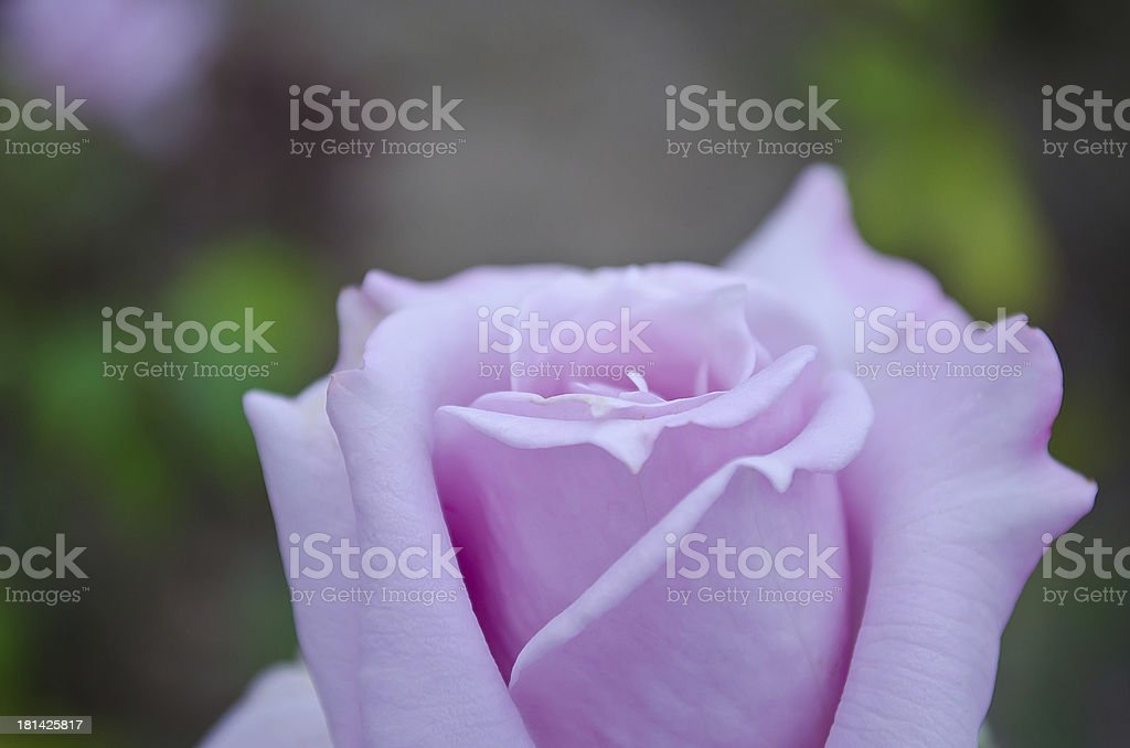 Flower - rosebud. royalty-free stock photo