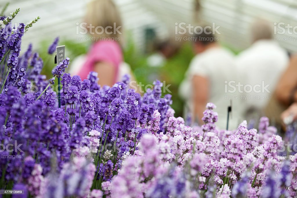 Flower Show Lavender royalty-free stock photo