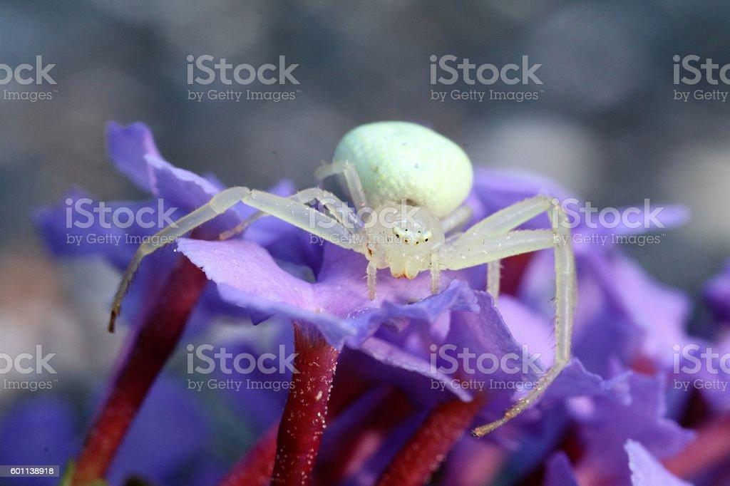 Flower Spider stock photo