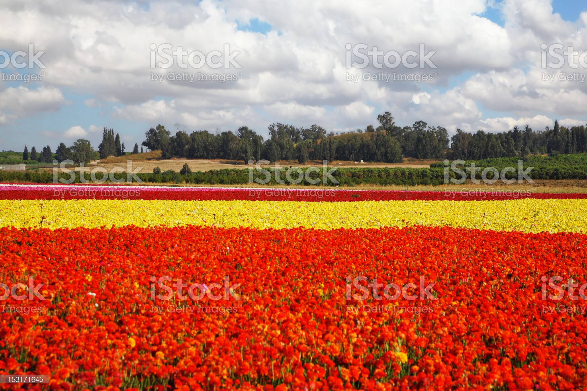 Flower spring in Israel royalty-free stock photo
