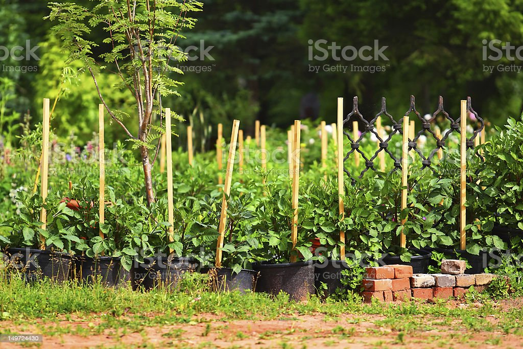 Flower sprouts in pots royalty-free stock photo