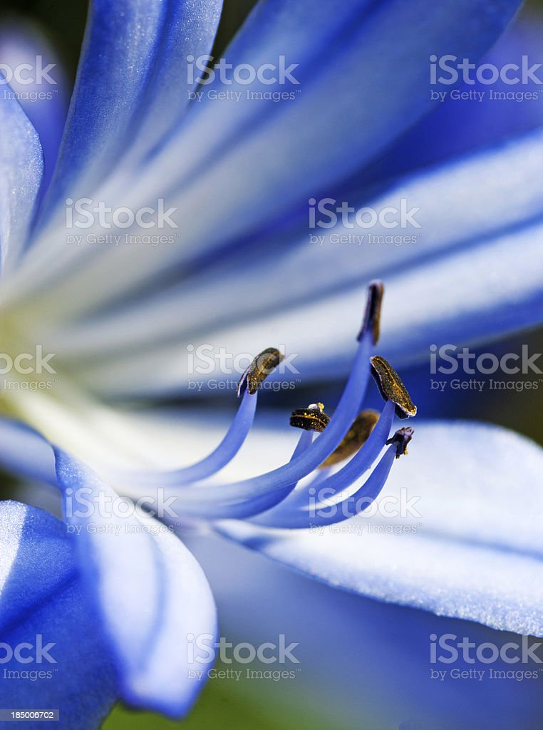 Flower stamens royalty-free stock photo