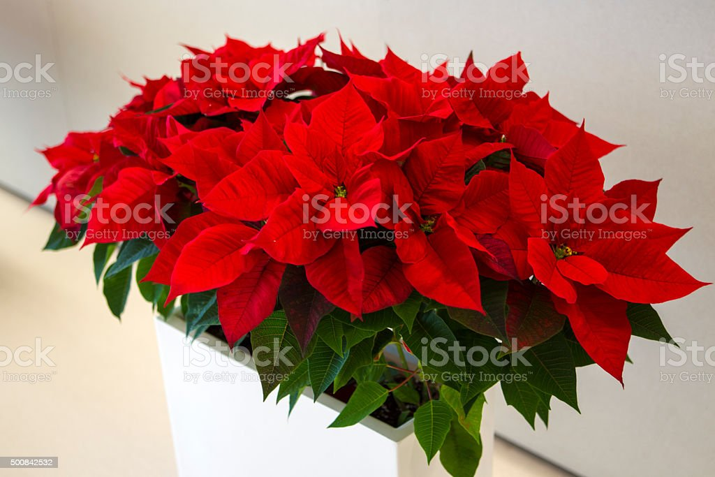 Flower, star of Bethlehem stock photo