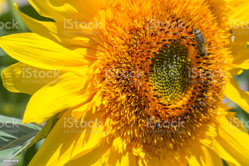 flower sunflower bright fragrant bloom in a field. shallow depth of...