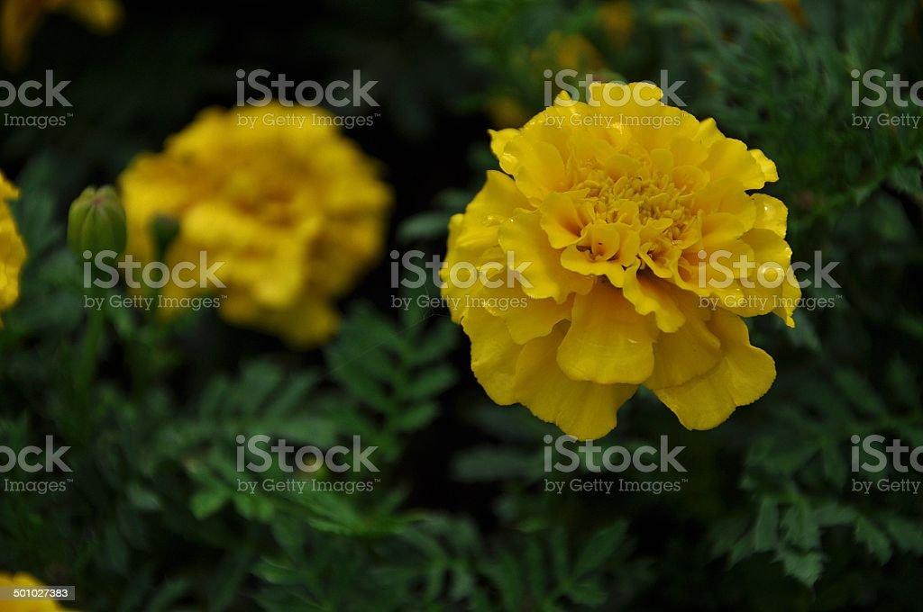 Flower, sunflower stock photo