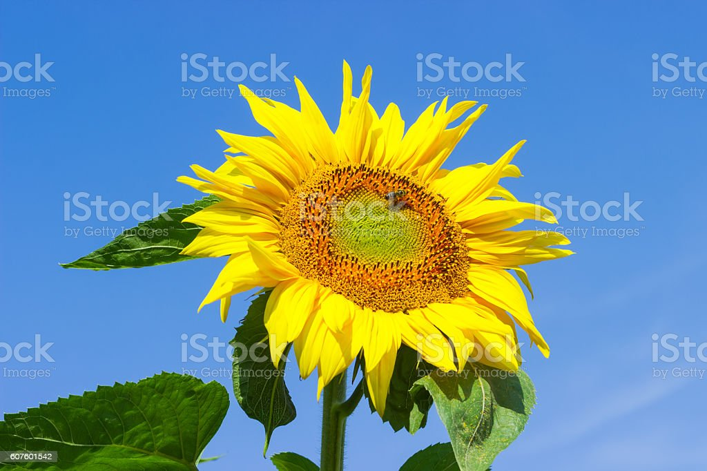 Flower sunflower with bee on the field against the sky