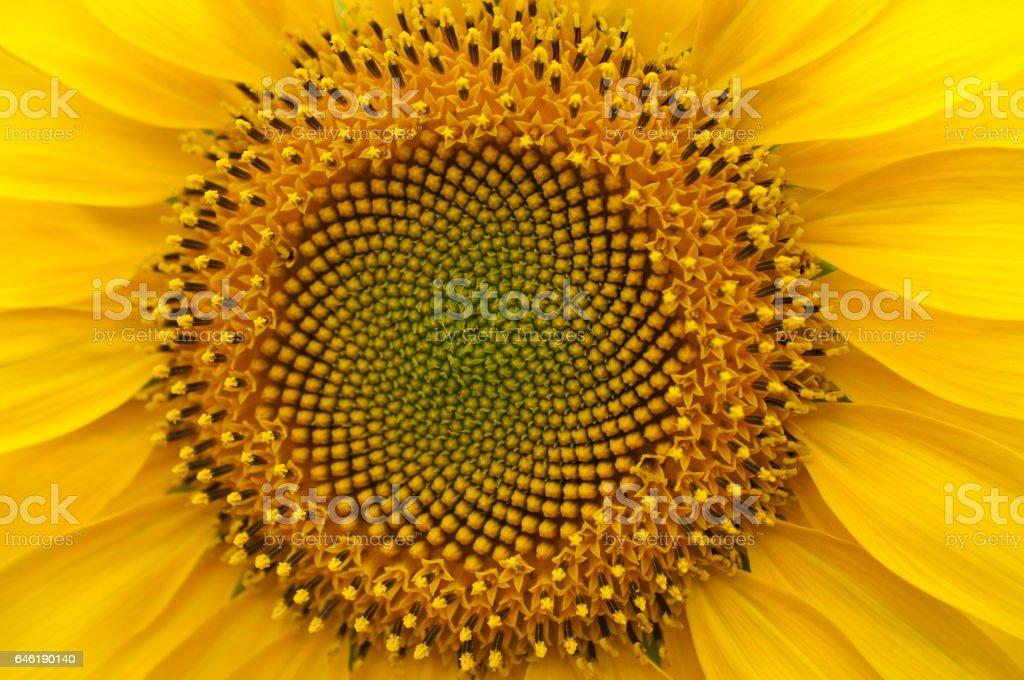 Flower sunflower young macro stock photo