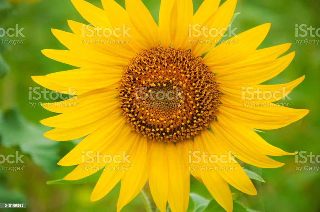 Flower sunflower young stock photo