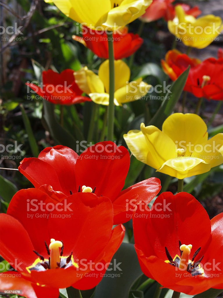 Flower - Sunny Tulips royalty-free stock photo