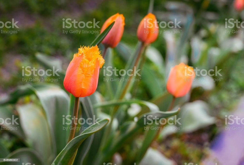 Flower tulips background. Beautiful view of red and yellow tulips under sunlight landscape at the middle of spring or summer. stock photo