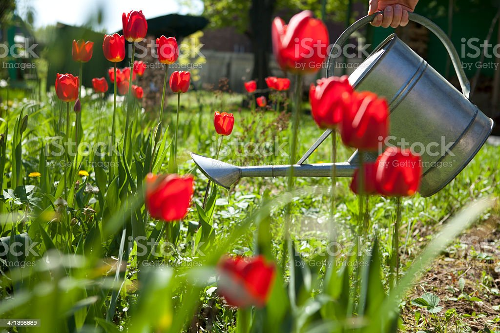 Flower watering royalty-free stock photo
