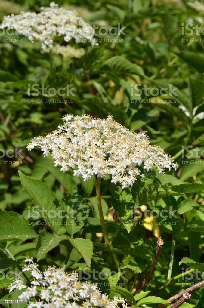 Flower white blossoms stock photo