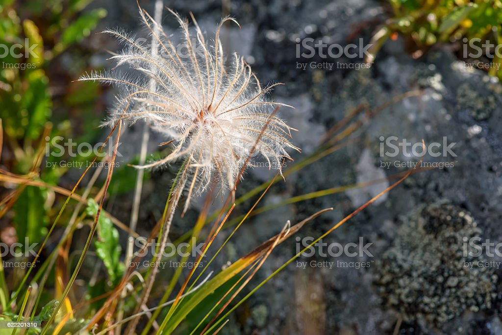 flower white fluffy Dryad stock photo