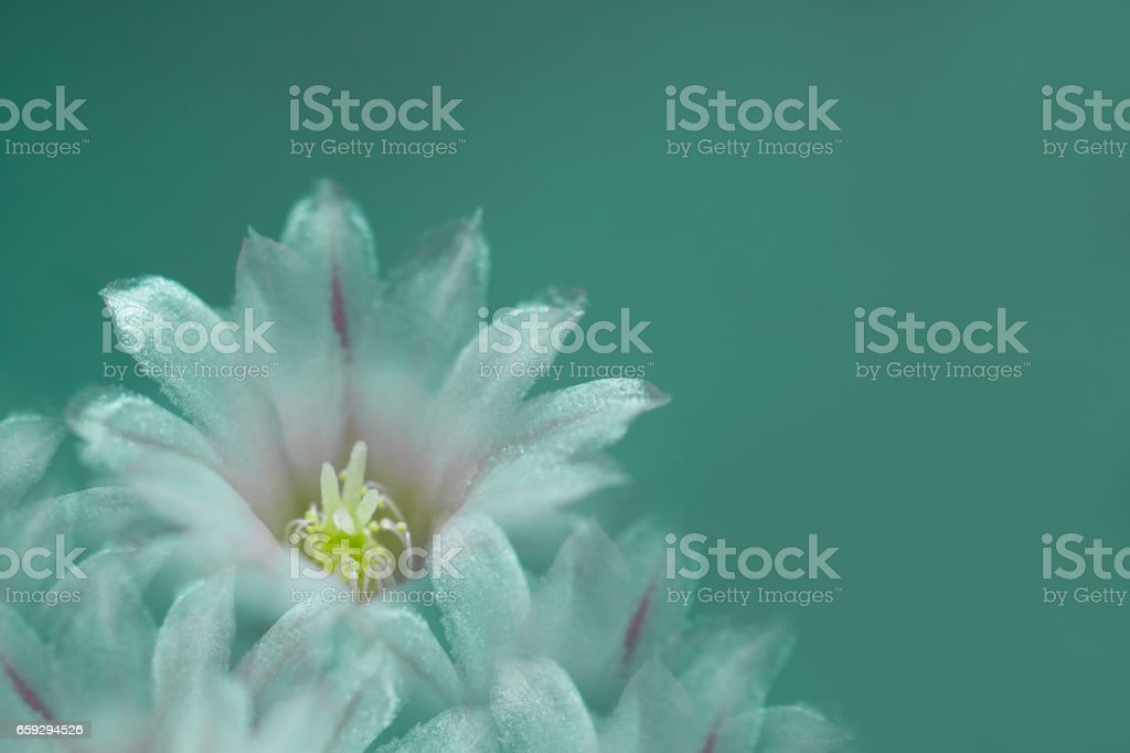 flower white on turquoise background. The petals shine in the sun. Close-up.   flower composition. Nature. stock photo