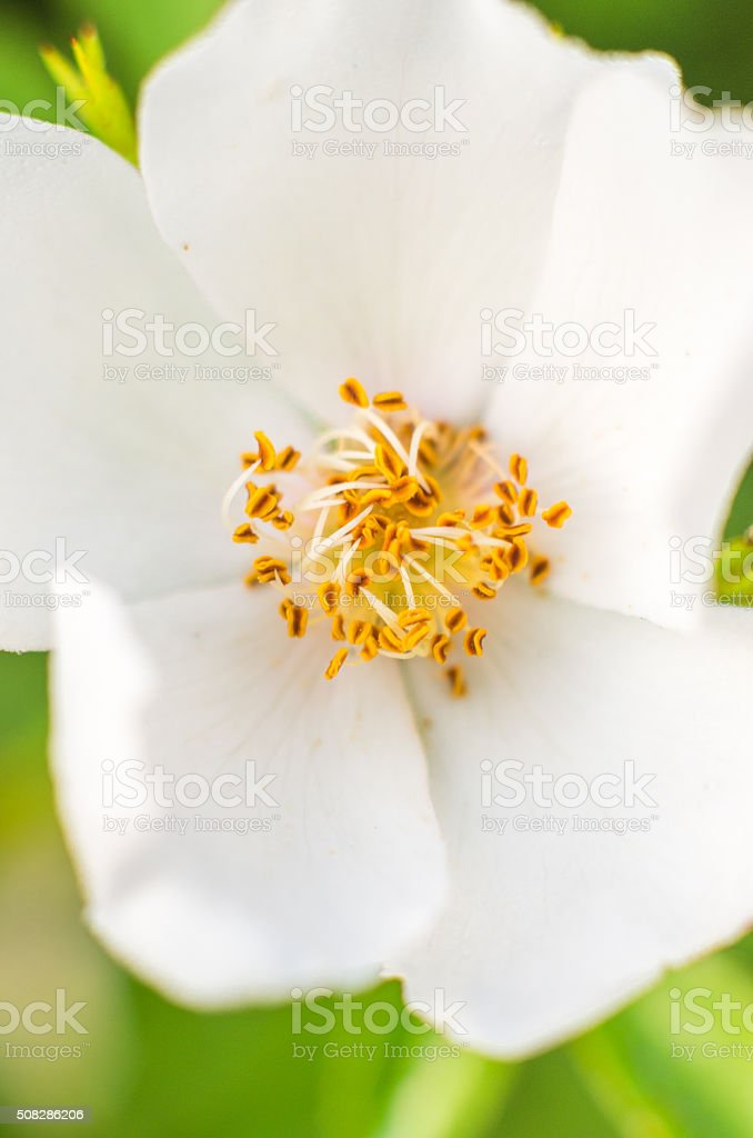 flower white petalnyellow seed green bokeh background stock photo
