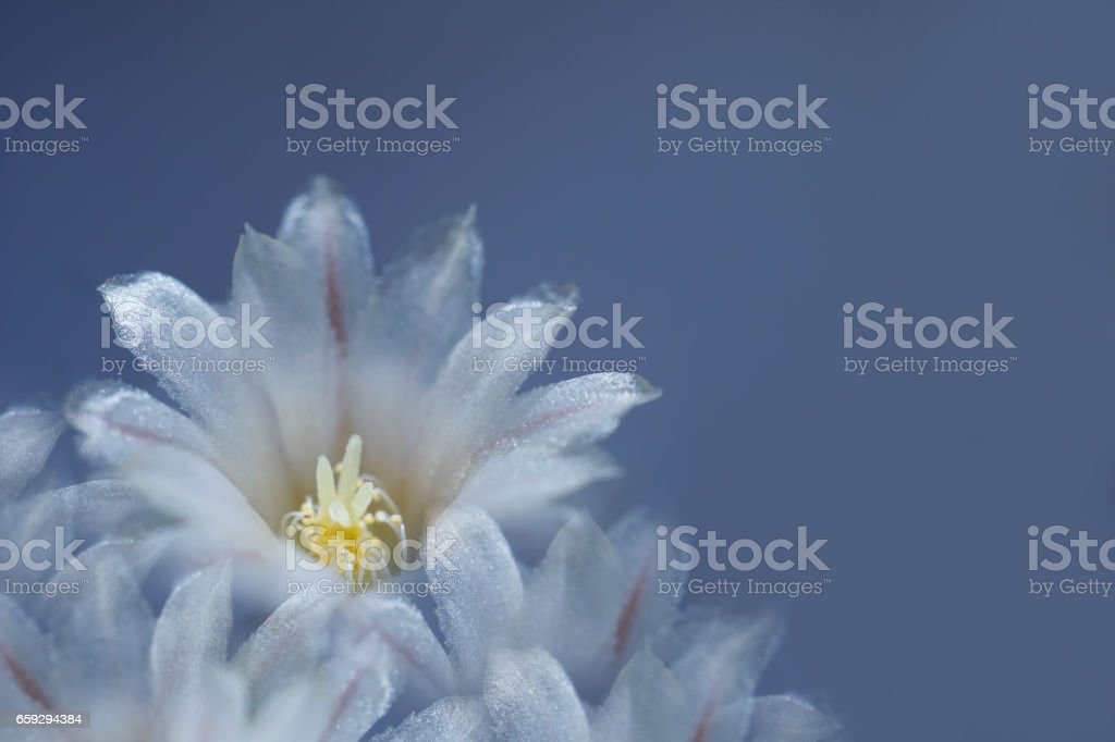 flower white-blue on blue background. The petals shine in the sun. Close-up.   flower composition. Nature. stock photo