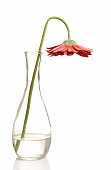 Flower wilting in glass vase on a white background