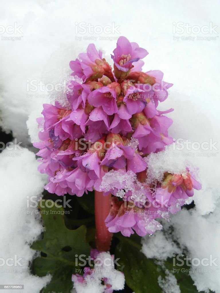 Flower with pink blooms in the middle of snow stock photo