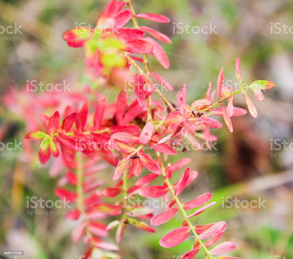 Flower with red autumn leaves, close up photo stock photo