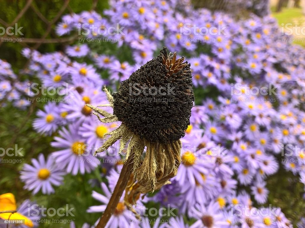 Flower Withered stock photo