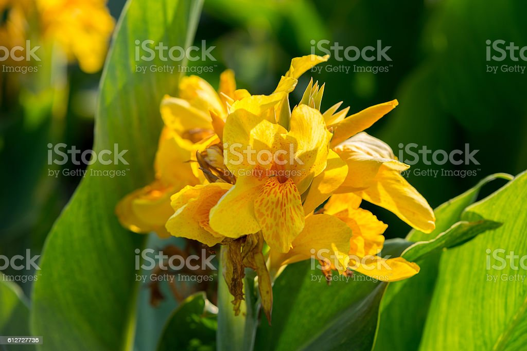 Flower yellow canna stock photo