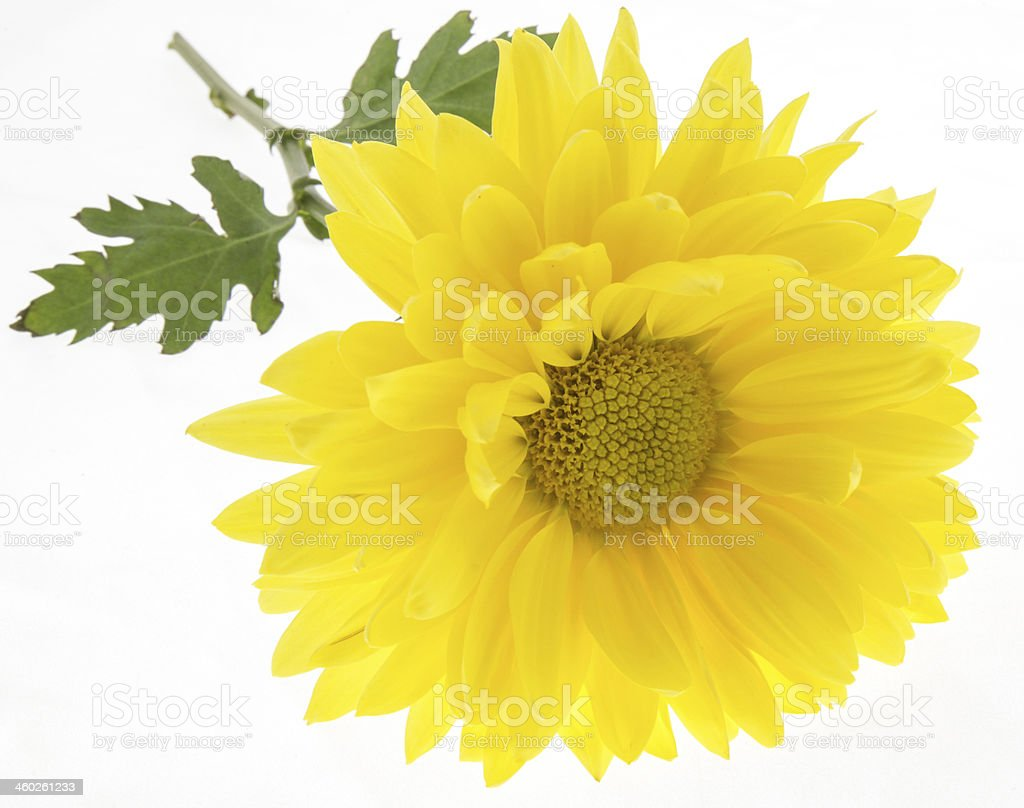 Flower Yellow Daisy royalty-free stock photo