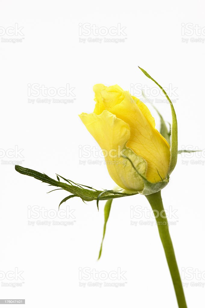 Flower - Yellow Rose royalty-free stock photo
