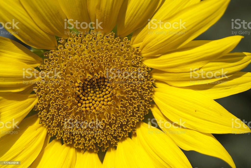 Flower Yellow Sunflower summer crop zoom photo petals stock photo