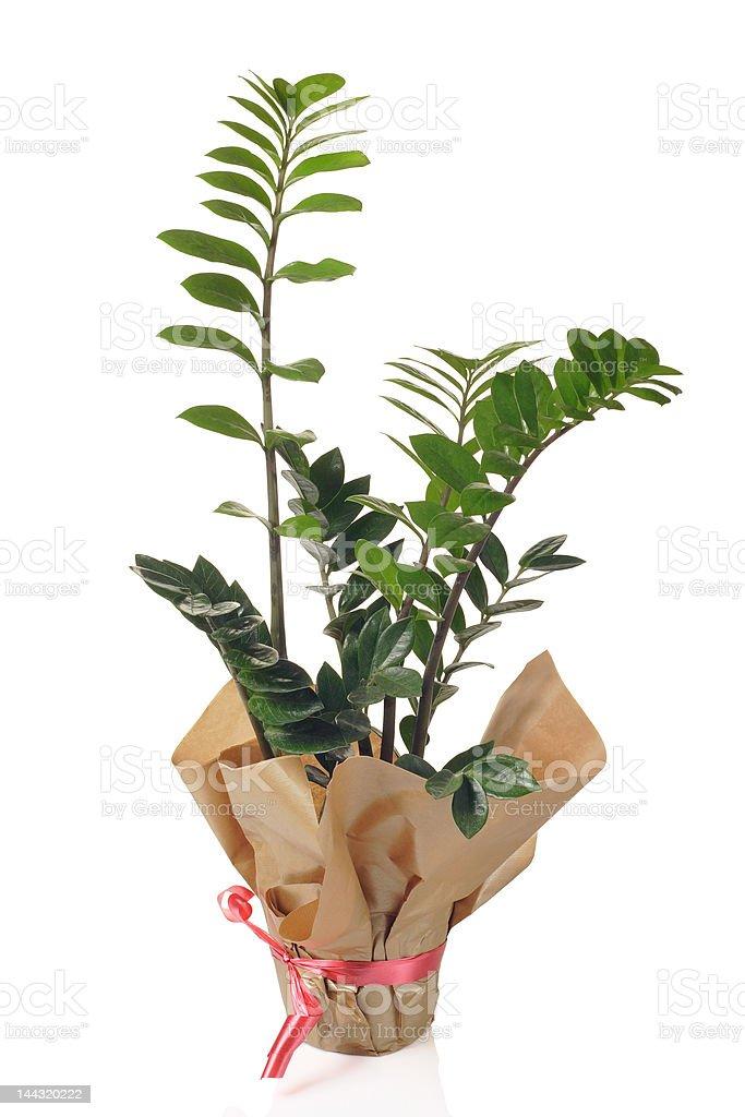 Flower Zamioculcas in flowerpot royalty-free stock photo