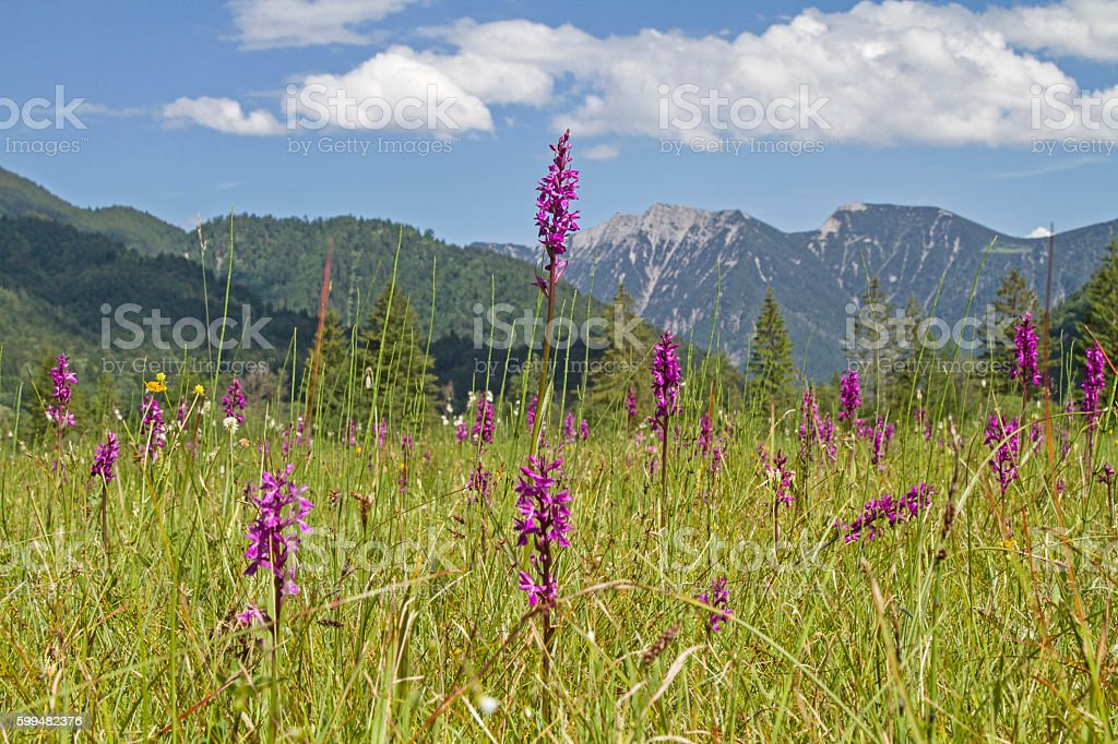 Flowerage in Ettal Weidmoos stock photo