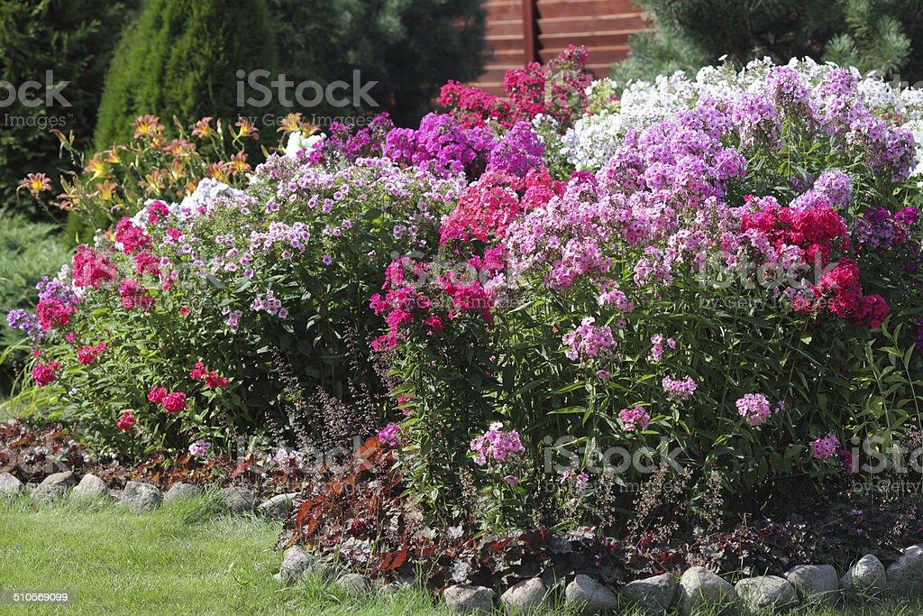 flowerbed flowering phlox in the garden stock photo