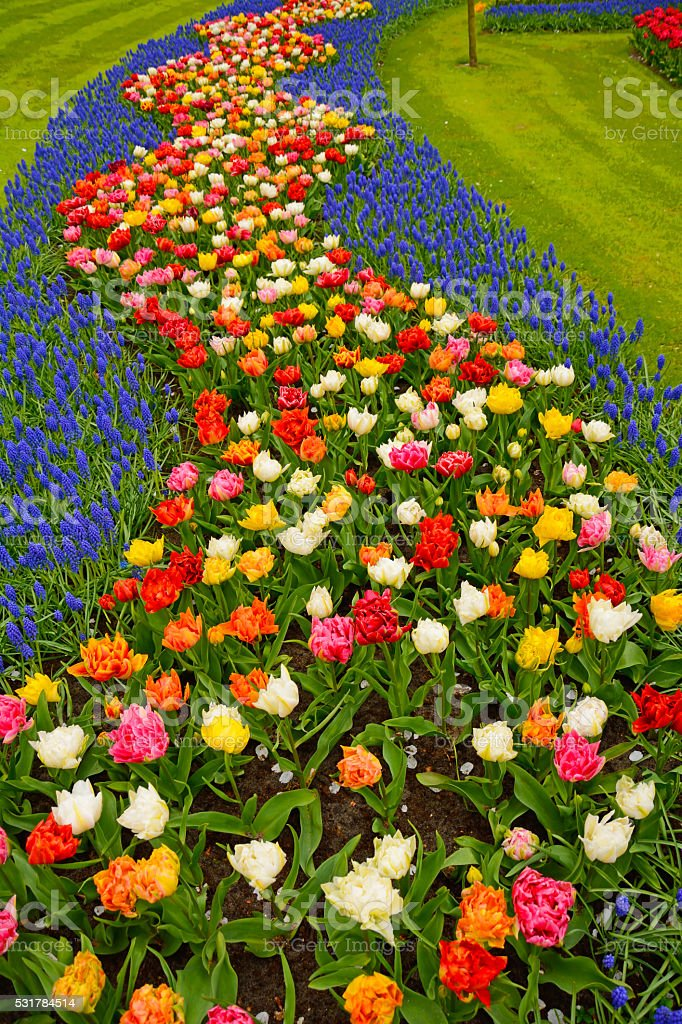 Flowerbed in Keukenhof stock photo