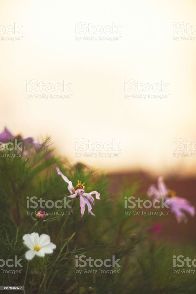 Flowerbed of cosmos flowers in natural sunlight. Flower Immersion stock photo