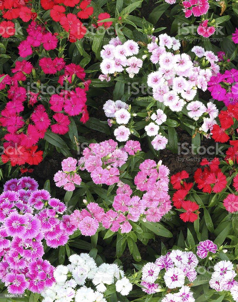 Flowerbed of Dianthus barbatus stock photo