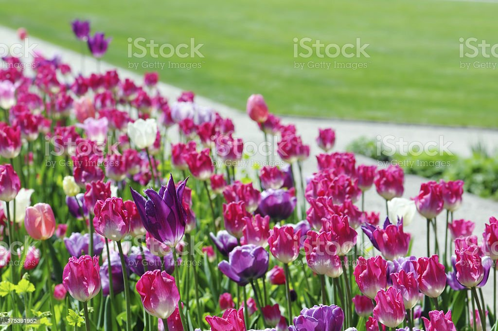 flowerbed of purple red white tulips stock photo