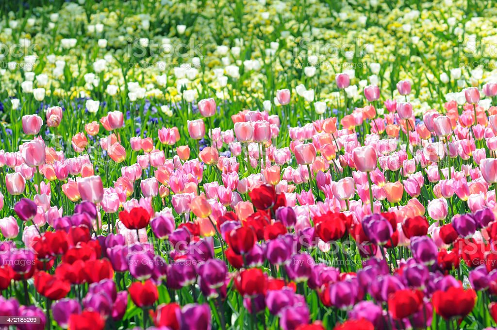 flowerbed of tulip royalty-free stock photo