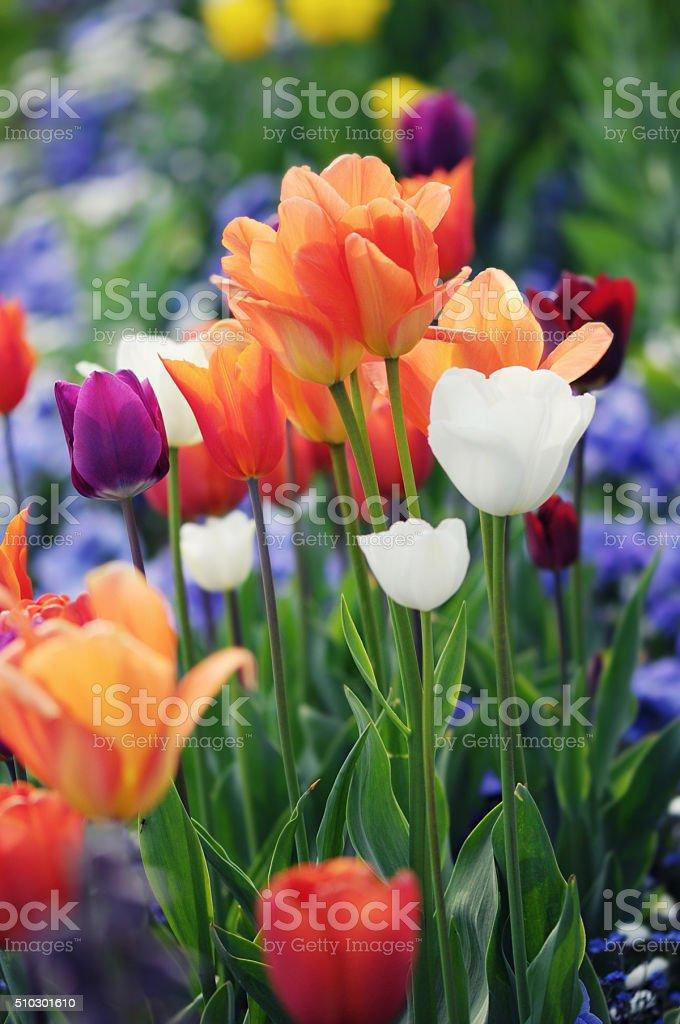 flowerbed of tulips in springtime stock photo