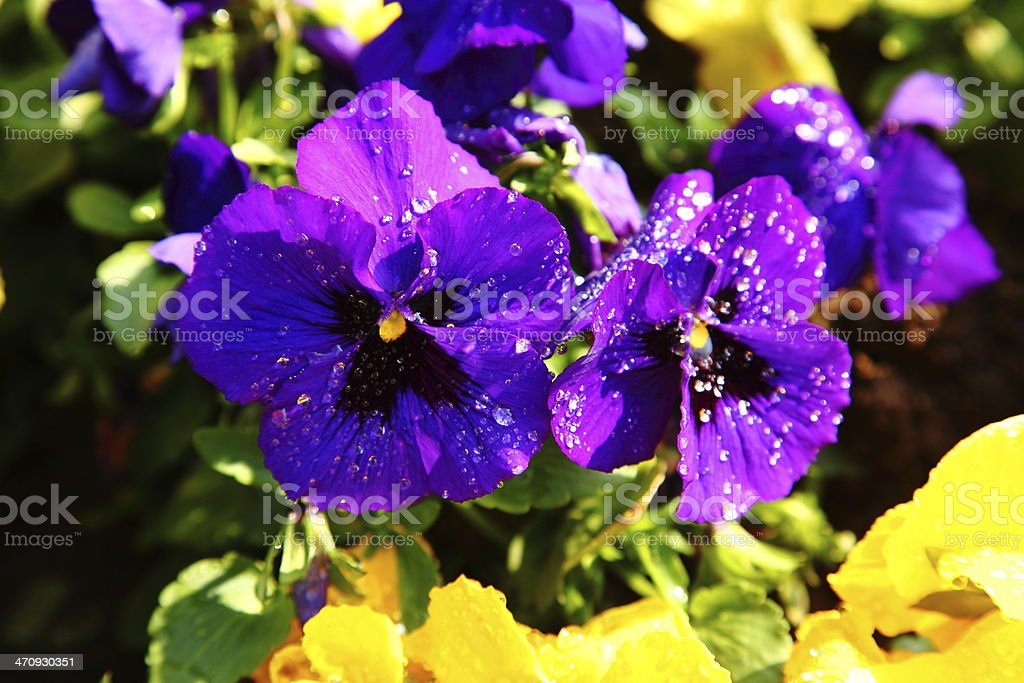 Flowerbed of Viola cornu?ta a violet pansy flower stock photo