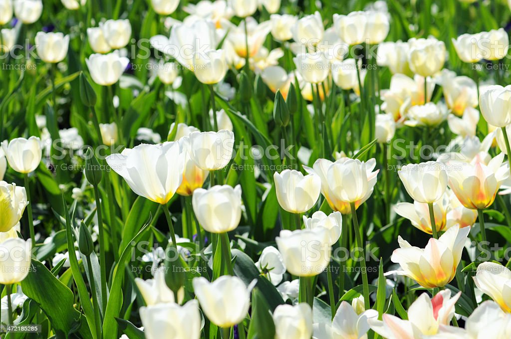 flowerbed of white tulip royalty-free stock photo